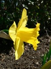 daffodil, plant