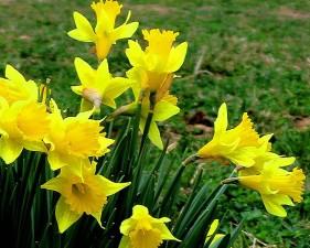 daffodils, bloom