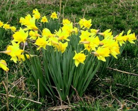 yellow daffodil flowers, blooming flowers, garden