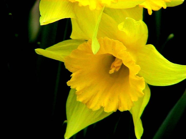 daffodils, flower, narcissus