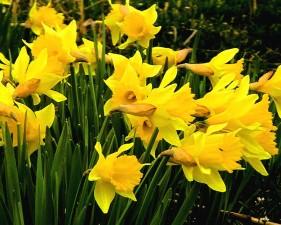daffodils, flowering