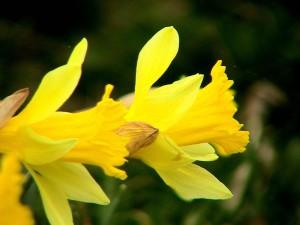 daffodils, plant, flower