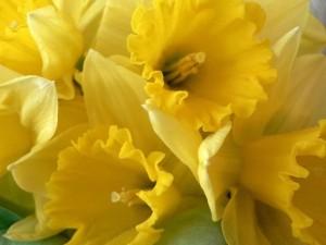 daffodils, yellow