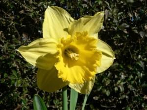 giallo, narciso, fiore, chiudere