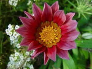 жоржини, Кларксон, квітка