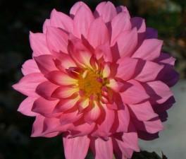 Dahlia, dahlia, rosa, blomma, kronblad