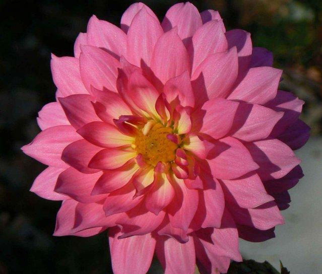 dahlia, flower, petals, pink, dahlia