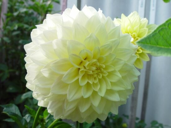 huge pale, yellow, dahlia, courtesy, roger, gibbons