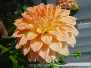 величезний персикового, жоржини, ввічливість, Роже, Гіббонс