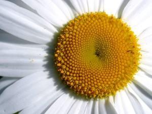 closeup, daisy, flower