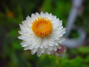 cream, yellow, paper, daisy