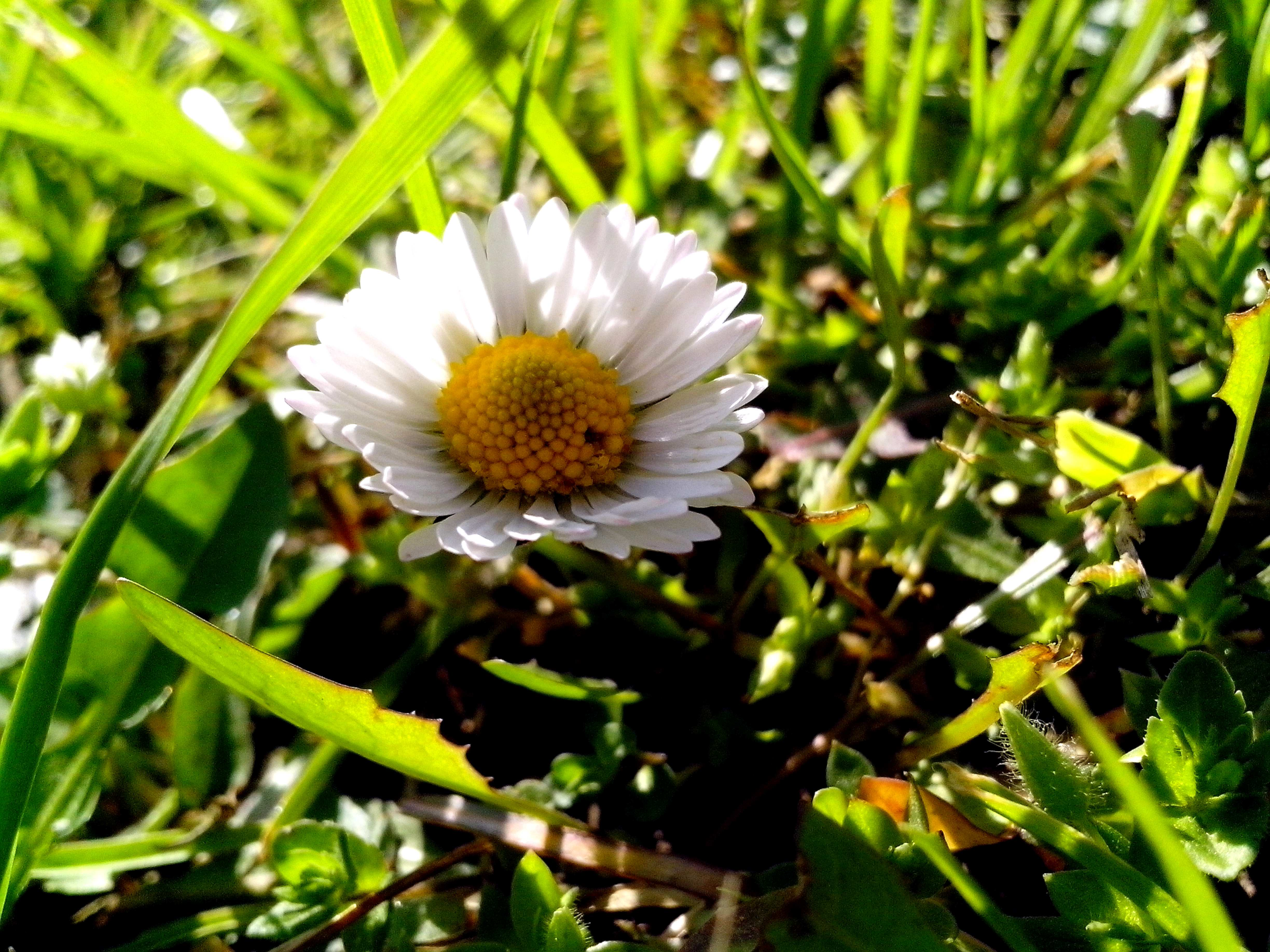 Free photograph; daisies, flowers, morning