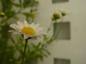 weiße Blume, Blütenblätter, Hintergrund
