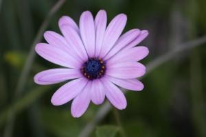 Daisy, kvetoucí