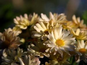 margarita, margaritas, flores
