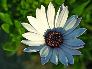 daisy, daisies, flowers, petals