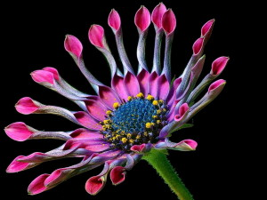 Дейзи, маргаритки, цветя, листенца, розово, цветен прашец
