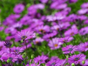 margarita, margaritas, flores, púrpura