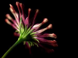 daisy, daisies, stems