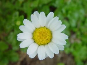 daisy, flower, green, background