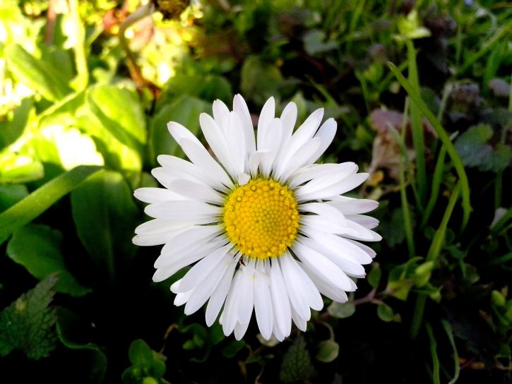 daisy, flower, petals, green, grass