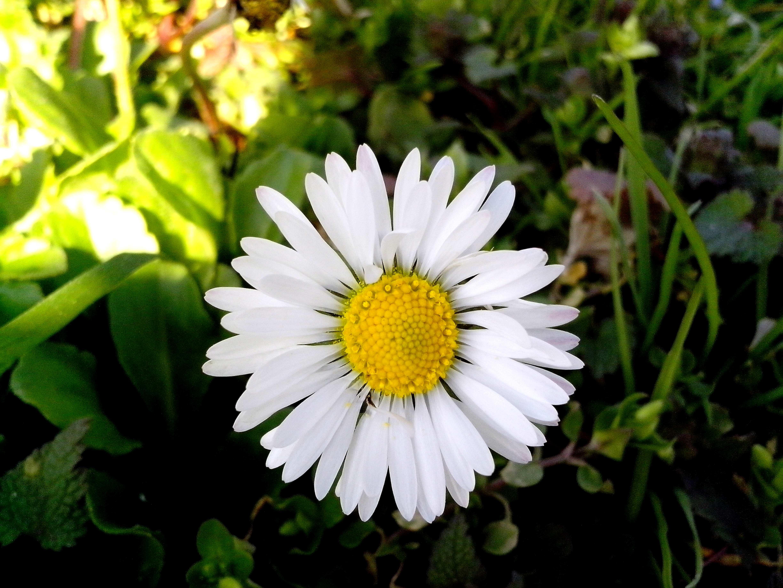 Free photograph; daisy, flower, petals, green, grass