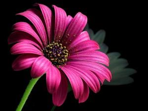 daisy, pollen
