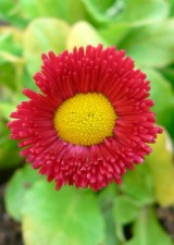 daisy, yellow, red, close