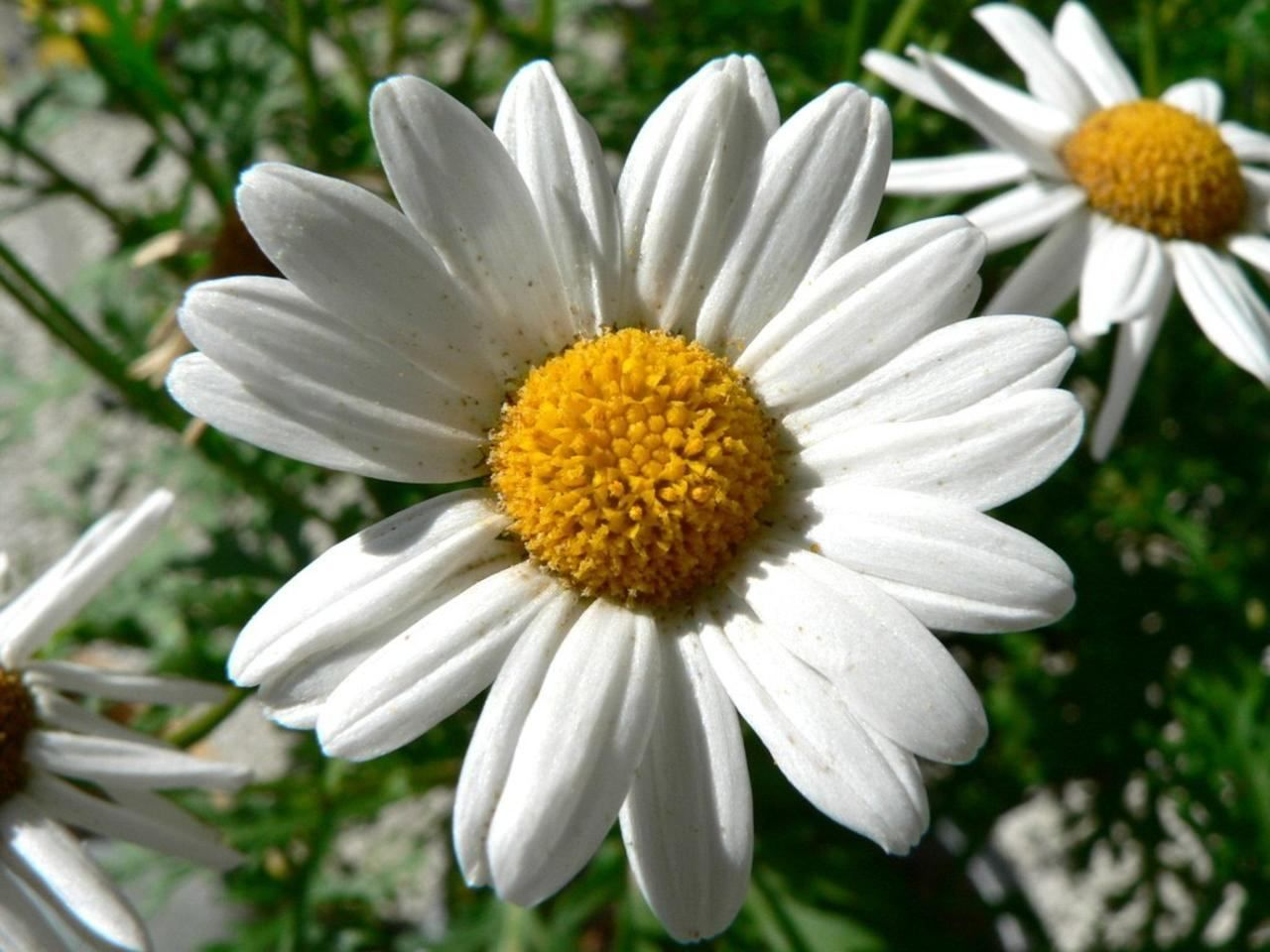 free picture dill daisy white