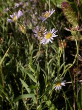 en peligro de extinción, Willamette, margarita, flor, erigeron, decumbens, decumbens