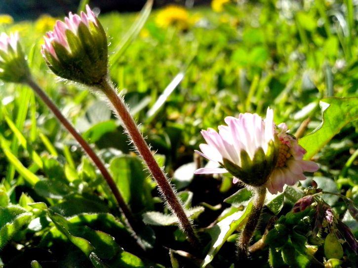 λουλούδια, μαργαρίτες, πρωί