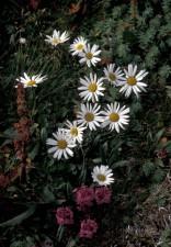 Halle, insel, Wildblumen, Arktis, Gänseblümchen, lousewort