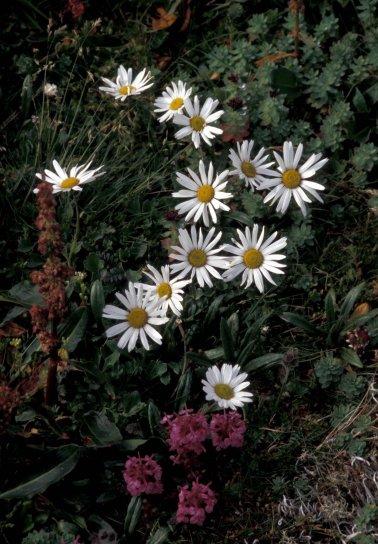 hall, island, wildflowers, Arctic, daisy, lousewort