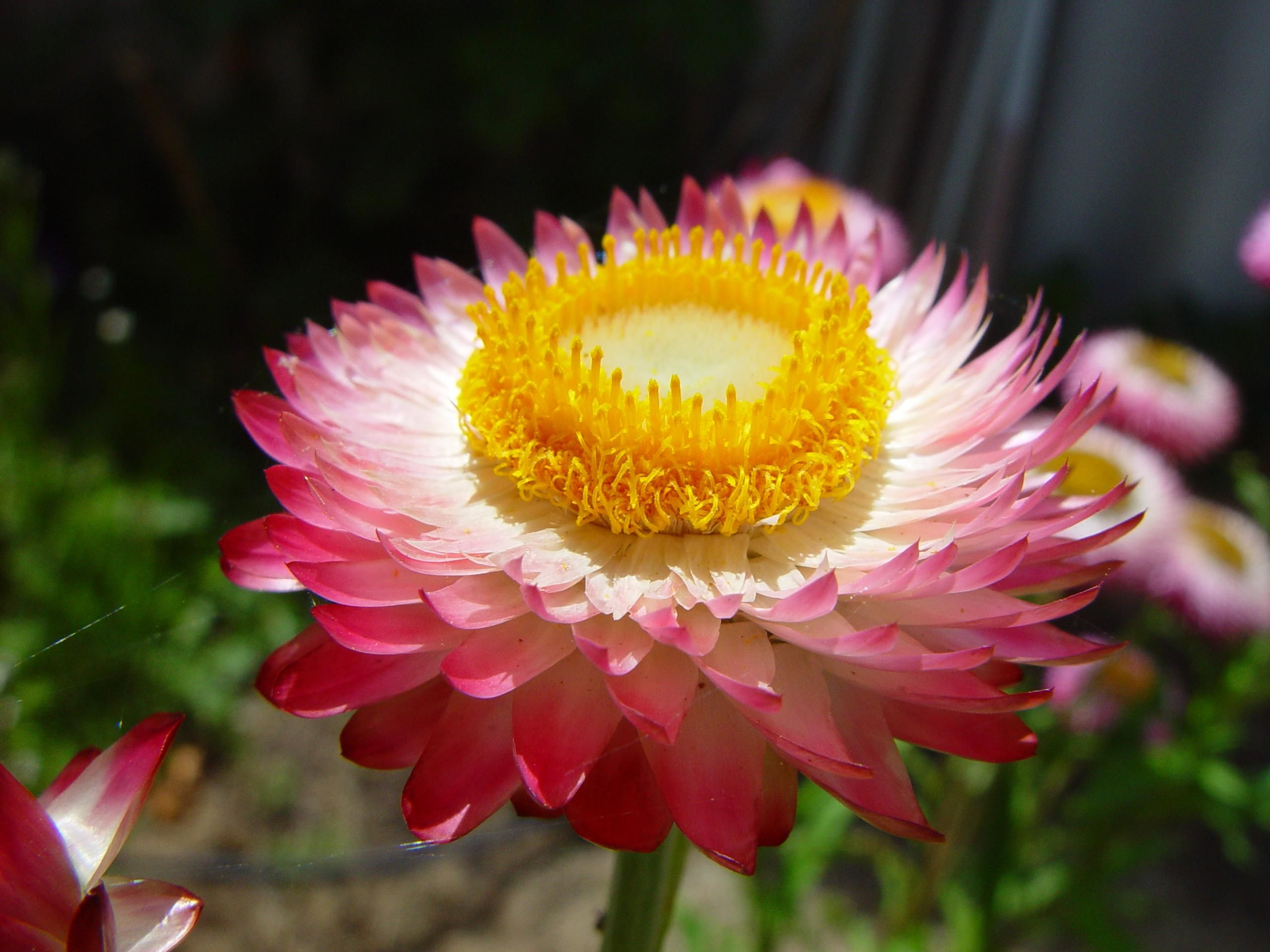 Free Picture Pink Yellow Paper Daisy