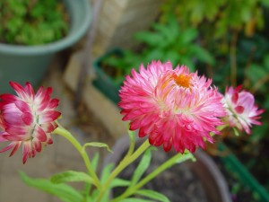 pink, paper, daisies