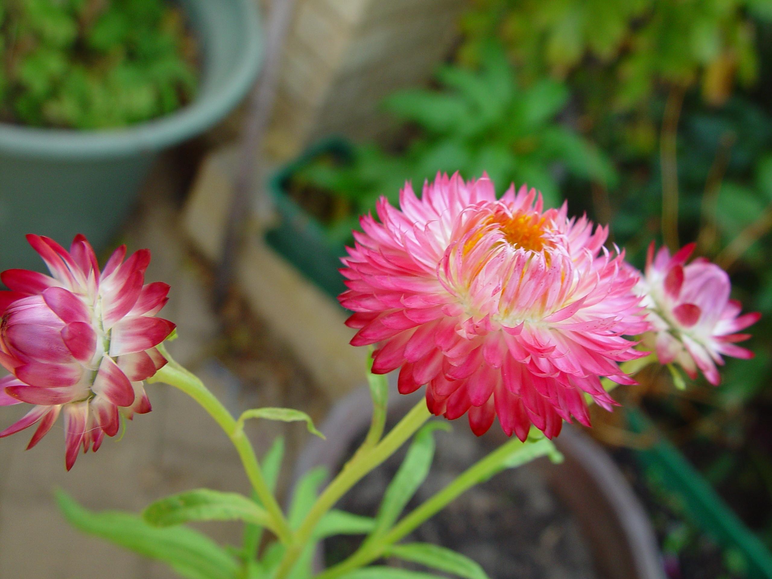 giấy màu hồng, Hoa cúc