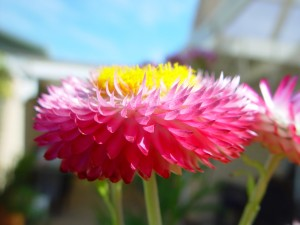 pink, paper, daisy