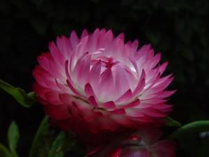 pink, paper, daisy, dark, background