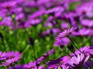 púrpura, margaritas, margarita