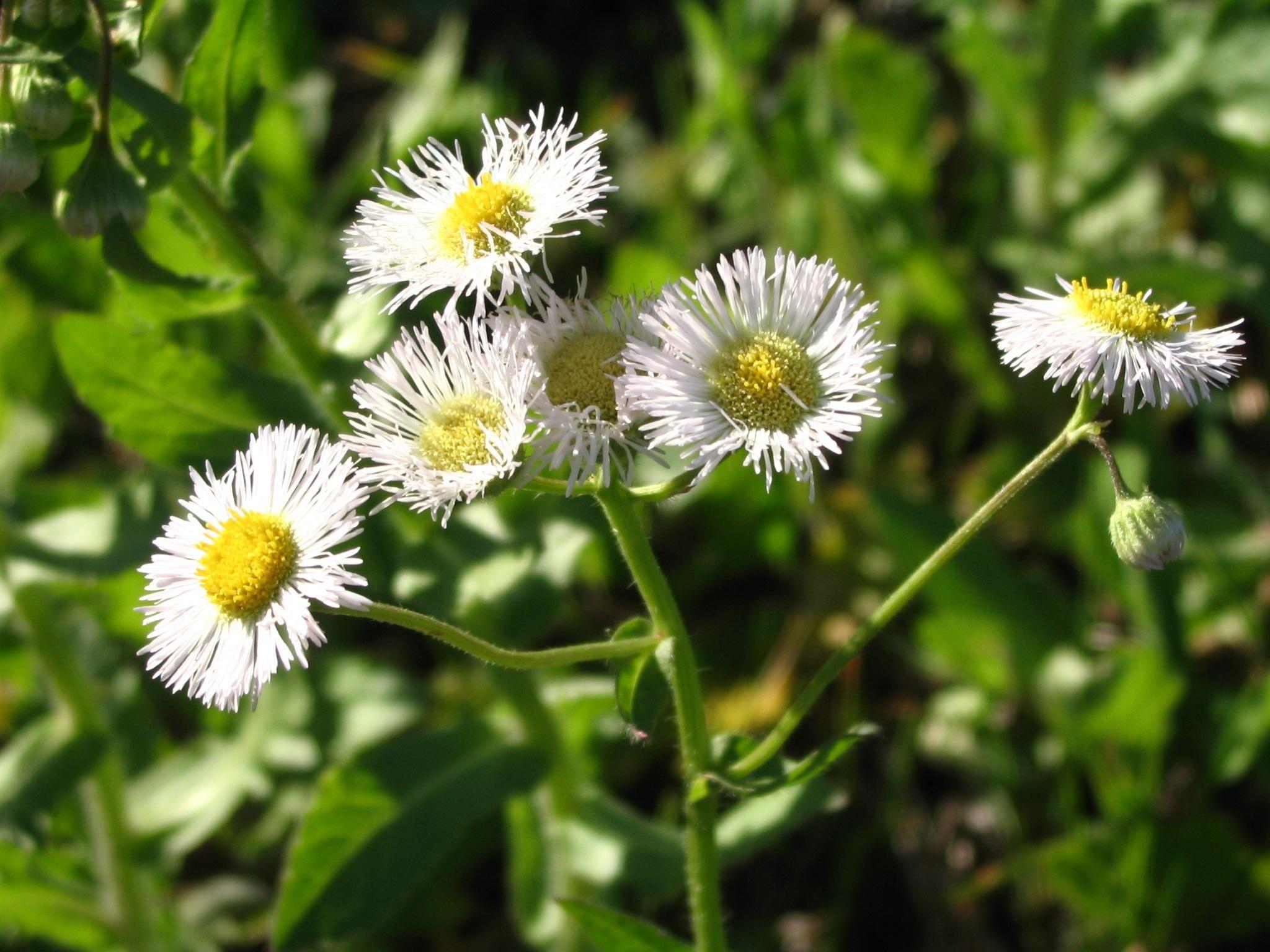 Free picture tiny daisy flowers sunlight tiny daisy flowers sunlight izmirmasajfo