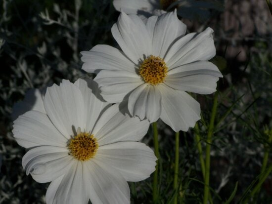 two, daisies, plants