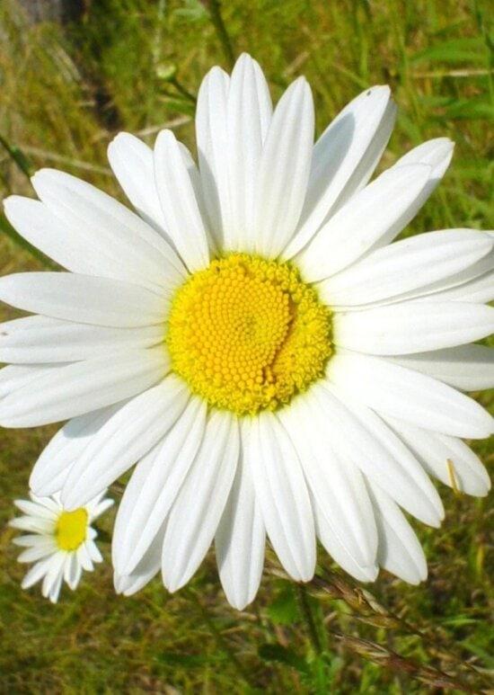 white, daisy