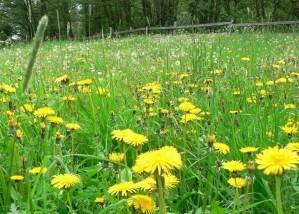 pissenlit, de près, l'herbe verte, champ