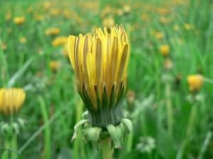 dandelion, flower, bloom