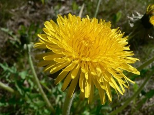 dandelion, flower, grass