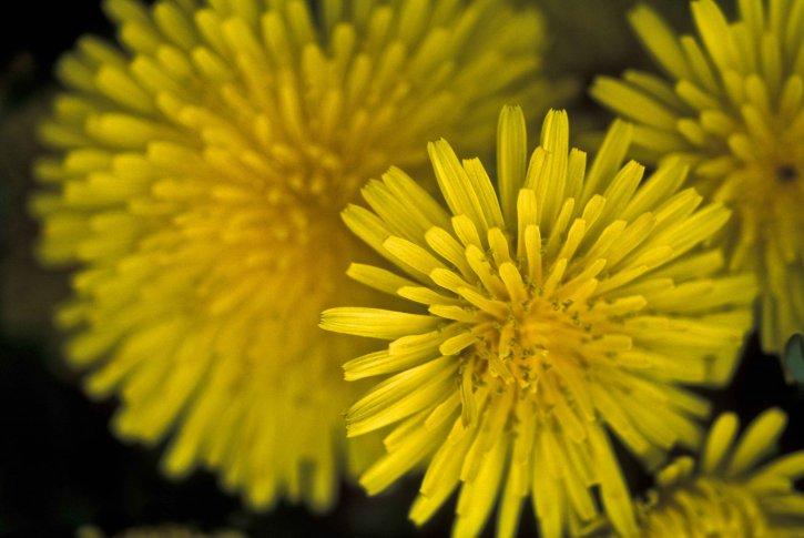dandelion, flower, macro, taraxacum, officinale