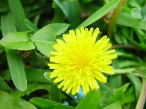 dandelion, flowering