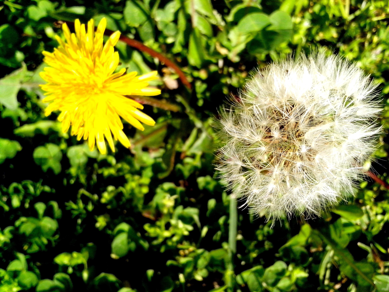 Free photograph; dandelion, grass, ready, sow