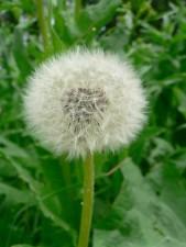 dandelion, seed
