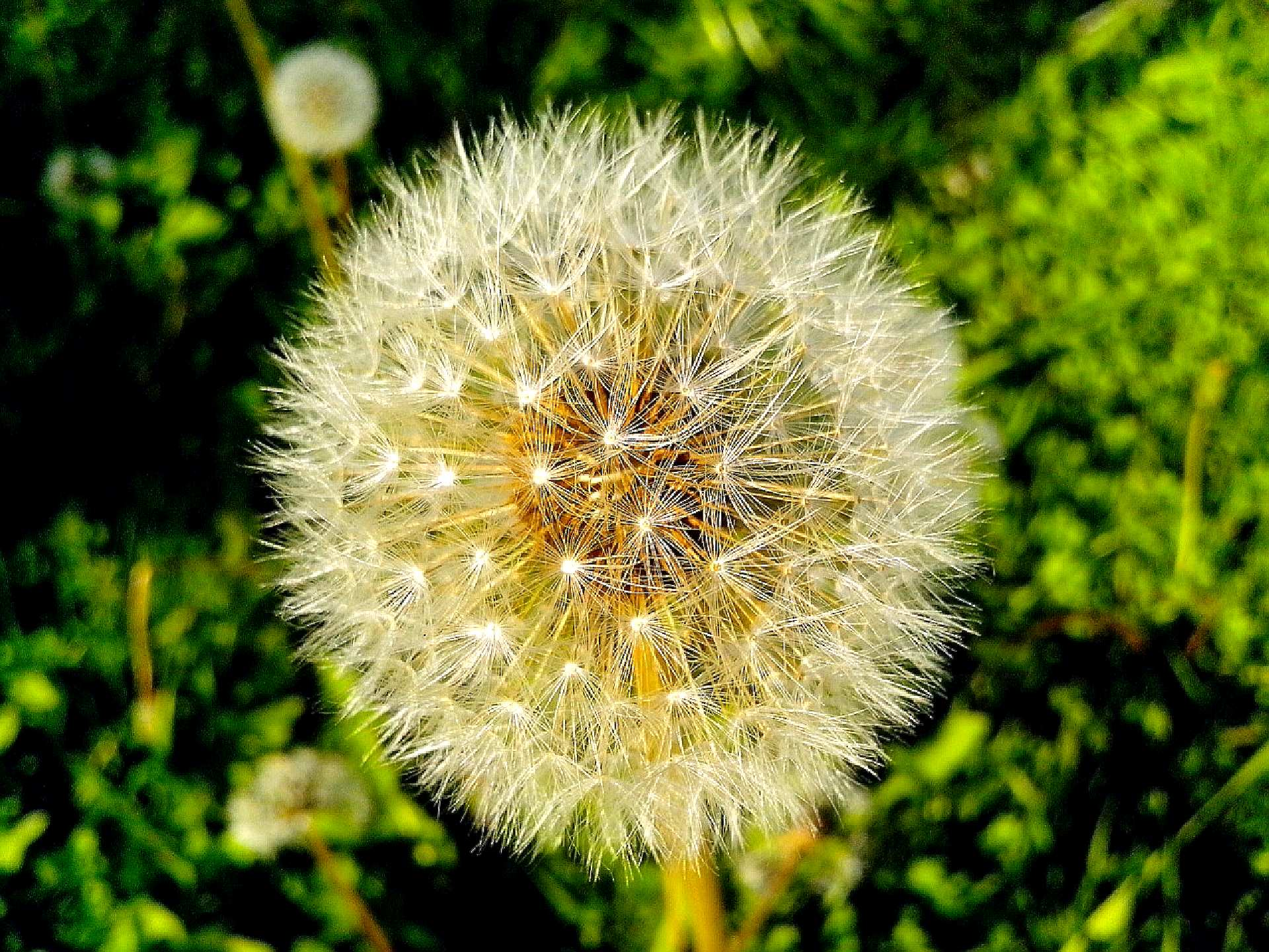 Free photograph; dandelion, seeds, before, wind